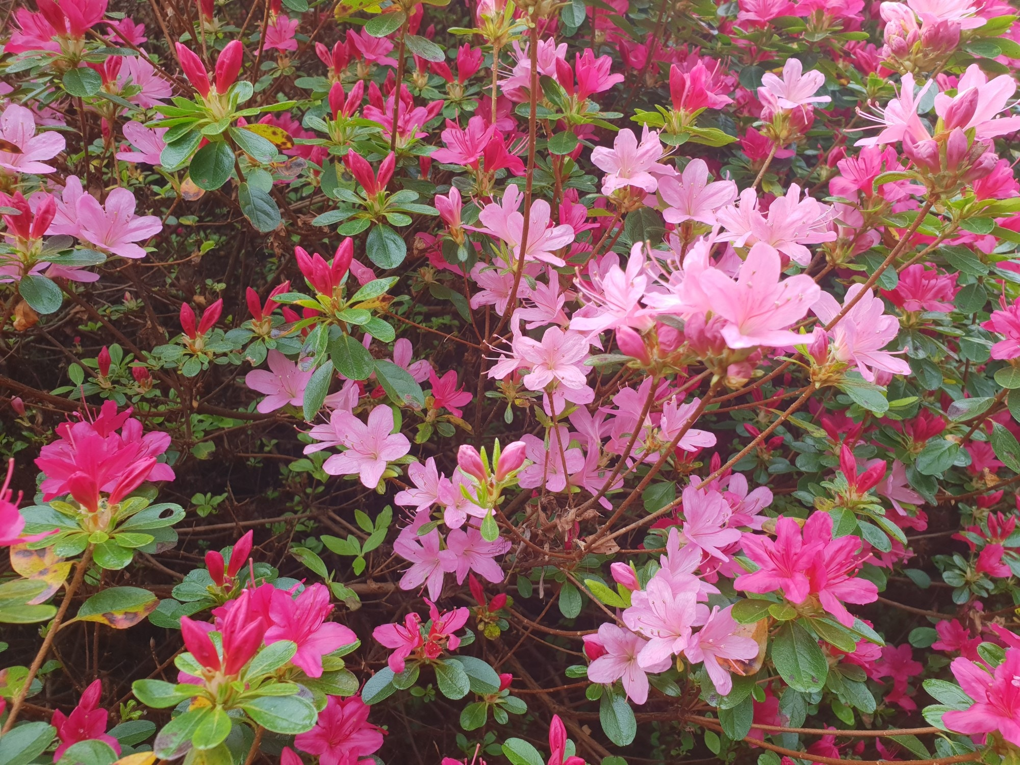 Dazzling spring display at Furzey Gardens
